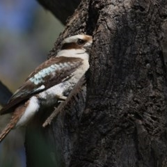 Dacelo novaeguineae (Laughing Kookaburra) at Wodonga - 24 Oct 2020 by Kyliegw