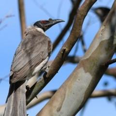 Philemon corniculatus (Noisy Friarbird) at Wodonga - 24 Oct 2020 by Kyliegw
