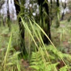 Anisopogon avenaceus (Oat Speargrass) at Meroo National Park - 24 Oct 2020 by margotallatt