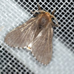Symphyta nyctopis (A Lasiocampid moth) at O'Connor, ACT - 4 Oct 2020 by ibaird