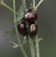 Chrysolina quadrigemina (Greater St Johns Wort beetle) at Tidbinbilla Nature Reserve - 25 Oct 2020 by JudithRoach