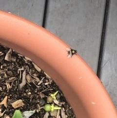 Amenia leonina (Snail-parasite blowfly) at Berry, NSW - 24 Oct 2020 by Username279