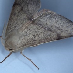 Arhodia lasiocamparia at Ainslie, ACT - 19 Oct 2020