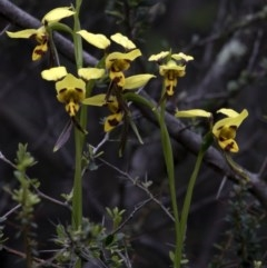Diuris sulphurea (Tiger orchid) at Jedbinbilla - 25 Oct 2020 by Judith Roach
