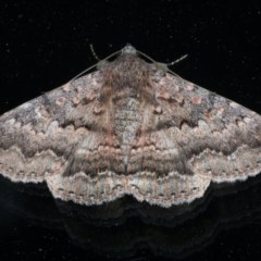 Eudesmeola lawsoni (Lawson's Night Moth) at Ainslie, ACT - 18 Oct 2020 by jbromilow50