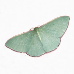 Chlorocoma vertumnaria (Red-fringed Emerald) at O'Connor, ACT - 5 Oct 2020 by ibaird