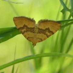 Chrysolarentia polyxantha (Yellow Carpet Moth) at Wodonga - 24 Oct 2020 by LizetteSalmon
