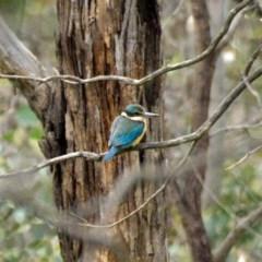 Todiramphus sanctus (Sacred Kingfisher) at Mulligans Flat - 25 Oct 2020 by trevsci