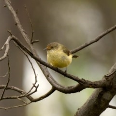 Acanthiza reguloides (Buff-rumped Thornbill) at Mulligans Flat - 25 Oct 2020 by trevsci