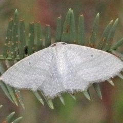 Poecilasthena thalassias (Sea-blue Delicate) at Dryandra St Woodland - 25 Oct 2020 by ConBoekel