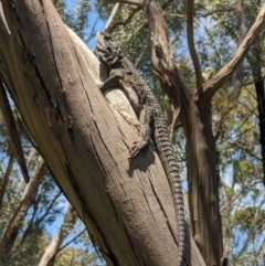 Pogona barbata (Eastern Bearded Dragon) at Albury - 25 Oct 2020 by ChrisAllen