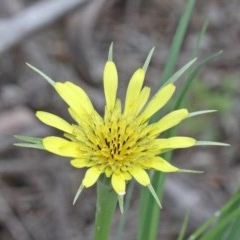 Tragopogon dubius (Goatsbeard) at Dryandra St Woodland - 25 Oct 2020 by ConBoekel