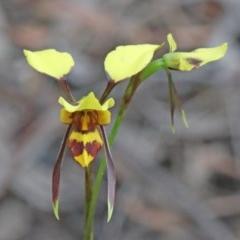 Diuris sulphurea (Tiger orchid) at Dryandra St Woodland - 25 Oct 2020 by ConBoekel