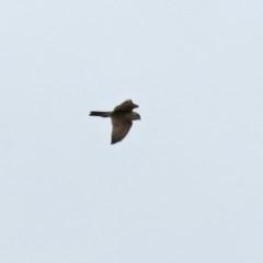 Falco berigora (Brown Falcon) at Macarthur, ACT - 25 Oct 2020 by RodDeb