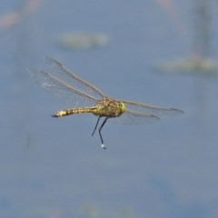 Anax papuensis (Australian Emperor) at Jerrabomberra Wetlands - 23 Oct 2020 by RodDeb
