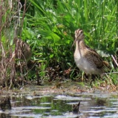 Gallinago hardwickii (Latham's Snipe) at Jerrabomberra Wetlands - 23 Oct 2020 by RodDeb