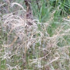 Austrostipa scabra (Corkscrew Grass, Slender Speargrass) at Dryandra St Woodland - 25 Oct 2020 by ConBoekel