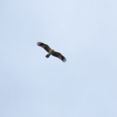 Haliastur sphenurus (Whistling Kite) at Jerrabomberra Wetlands - 23 Oct 2020 by RodDeb