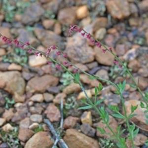 Gonocarpus tetragynus at Dryandra St Woodland - 25 Oct 2020