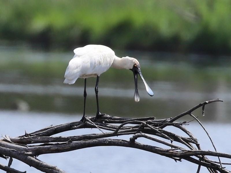 Platalea regia at Jerrabomberra Wetlands - 23 Oct 2020