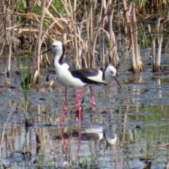 Himantopus leucocephalus (Pied Stilt) at Jerrabomberra Wetlands - 22 Oct 2020 by RodDeb