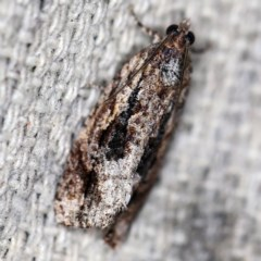Thrincophora lignigerana (A Tortricid moth) at O'Connor, ACT - 12 Oct 2020 by ibaird