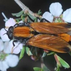 Pelecorhynchus fulvus (Orange cap-nosed fly) at Aranda Bushland - 23 Oct 2020 by Harrisi