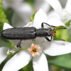 Eleale aspera (Clerid beetle) at ANBG - 20 Oct 2020 by TimL