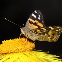 Vanessa kershawi (Australian Painted Lady) at ANBG - 20 Oct 2020 by TimL