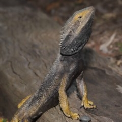 Pogona barbata (Eastern Bearded Dragon) at ANBG - 23 Oct 2020 by Tim L