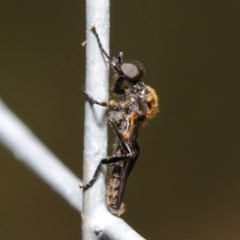 Bibionidae sp. (family) (Bibionid fly) at ANBG - 19 Oct 2020 by TimL