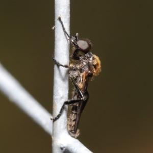 Bibionidae sp. (family) at ANBG - 20 Oct 2020