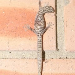 Christinus marmoratus (Southern Marbled Gecko) at Evatt, ACT - 19 Oct 2020 by Tim L