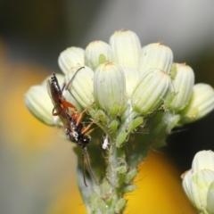 Ichneumonidae sp. (family) at ANBG - 20 Oct 2020