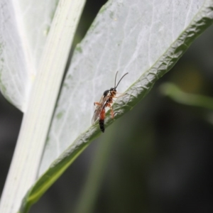 Ichneumonidae sp. (family) at ANBG - 20 Oct 2020