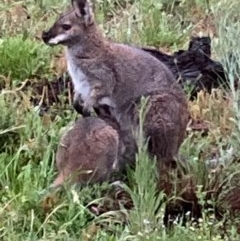Macropus rufogriseus (Red-necked Wallaby) at Bungendore, NSW - 24 Oct 2020 by yellowboxwoodland