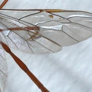 Enicospilus insularis at Ainslie, ACT - 17 Oct 2020