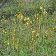 Bulbine bulbosa (Golden Lily) at Gungaderra Grasslands - 5 Oct 2020 by michaelb