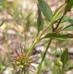 Opercularia hispida (Hairy Stinkweed) at The Pinnacle - 23 Oct 2020 by pinnaCLE