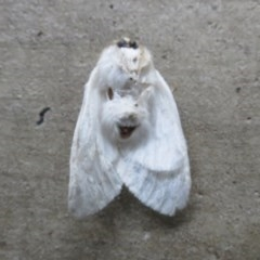Trichiocercus sparshalli (Sparshall's Moth) at Ulladulla, NSW - 24 Oct 2020 by CBrandis