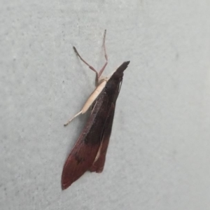 Uresiphita ornithopteralis at Kambah, ACT - 20 Jun 2020