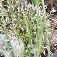 Aira elegantissima (Delicate Hairgrass) at Flea Bog Flat, Bruce - 26 Oct 2020 by tpreston