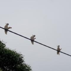 Cacatua galerita (Sulphur-Crested Cockatoo) at Albury - 25 Oct 2020 by ClaireSee