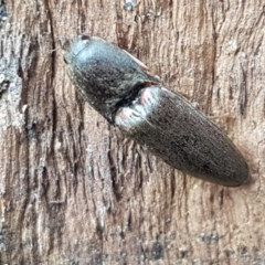 Conoderus sp. (genus) (Click beetle) at City Renewal Authority Area - 26 Oct 2020 by tpreston