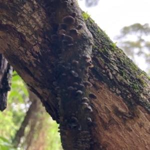 Resupinatus sp. at Wattamolla, NSW - 26 Oct 2020