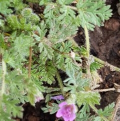 Erodium cicutarium (Common Storksbill, Common Crowfoot) at City Renewal Authority Area - 26 Oct 2020 by tpreston