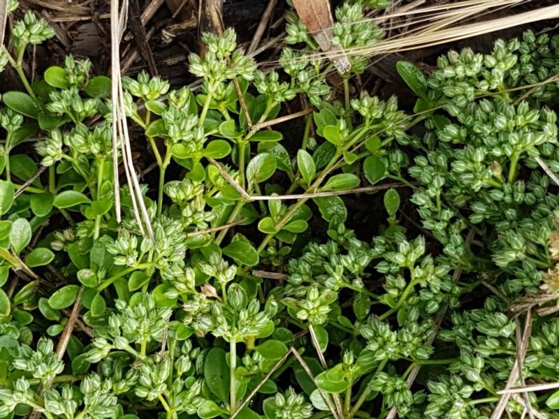 Polycarpon tetraphyllum at City Renewal Authority Area - 27 Oct 2020