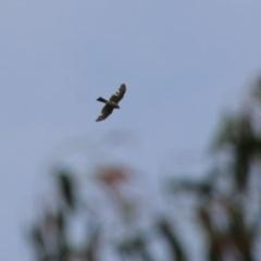 Accipiter cirrocephalus (Collared Sparrowhawk) at Hughes, ACT - 26 Oct 2020 by LisaH