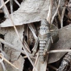 Unidentified Grasshopper (several families) (TBC) at Aranda Bushland - 26 Oct 2020 by tpreston
