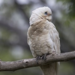 Cacatua sanguinea (Little Corella) at Higgins, ACT - 26 Oct 2020 by Alison Milton